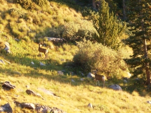A couple mule deer graze near our camp