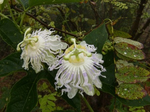 Exotic-looking Passion Flowers are abundant on the exposed slopes.